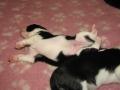 Pups Starling 063a